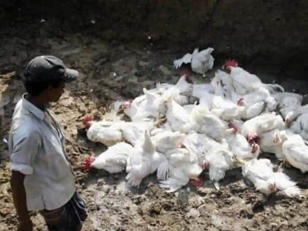 India probes its first human death from bird flu