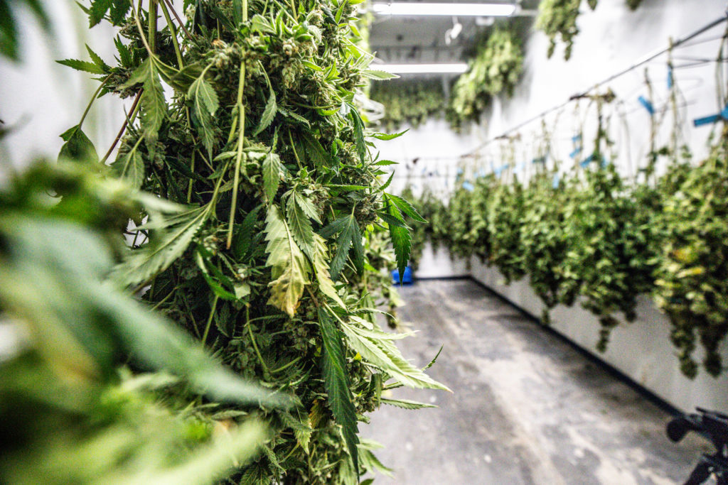 Colombia authorizes export of dried cannabis flowers