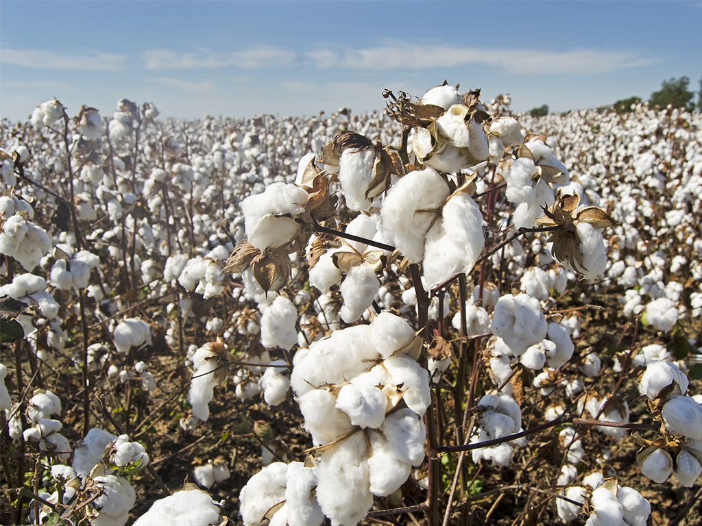 Cotton output: all eyes on October report