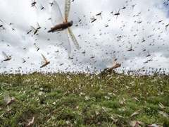 Locust attack losses could be severe, warns SBP