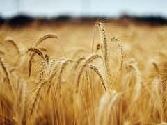 Wheat production target for Rabi season set