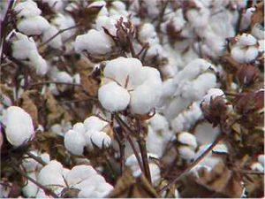cotton-aug