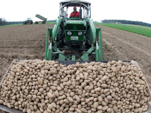 Potatoes to be cultivated over 465.4 thousand hectares, onions 216.8, tomatoes at 65.6 thousand hectares