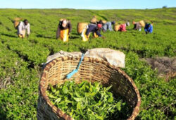 Pakistan remains world's largest buyer of Kenyan tea