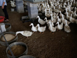 Chinese duck army to march into Pakistan
