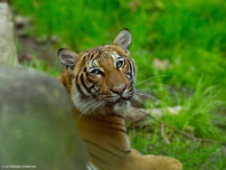 Coronavirus infects a tiger at Bronx Zoo